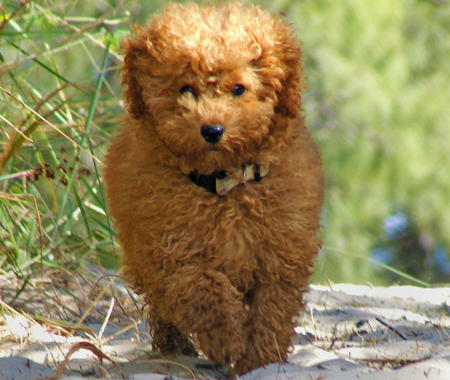 Rory the Toy Poodle Pictures 327735