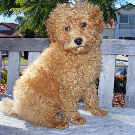 Rory the Toy Poodle Pictures 327736