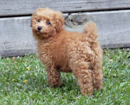Rory the Toy Poodle Pictures 327744