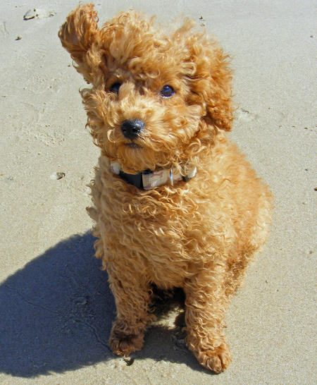 Rory the Toy Poodle Pictures 327743