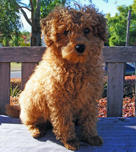 Rory the Toy Poodle Pictures 327740