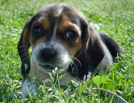Olive the Beagle Mix Pictures 343224