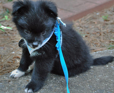 Bandit the Pomeranian Mix Pictures 329170
