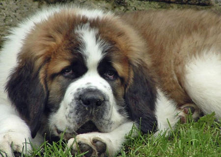 Milo the Saint Bernard  Pictures 350334
