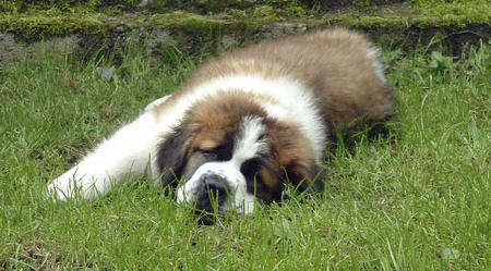 Milo the Saint Bernard  Pictures 350333
