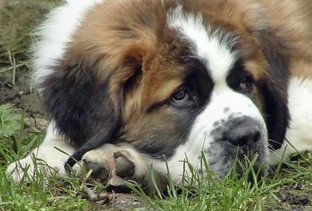 Milo the Saint Bernard  Pictures 350336