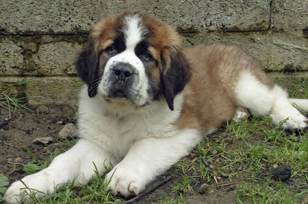 Milo the Saint Bernard  Pictures 350337