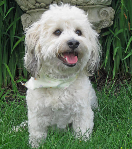 Bandit the Poodle Mix Pictures 392019