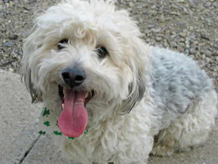 Bandit the Poodle Mix Pictures 392015