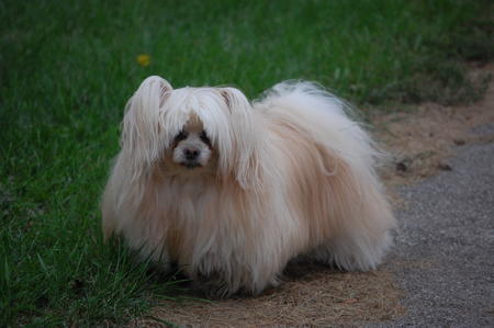 Peanut the Pomeranian Mix Pictures 333571