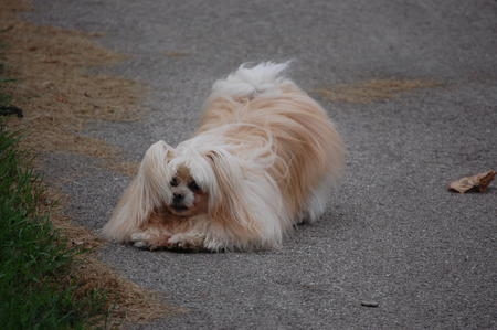 Peanut the Pomeranian Mix Pictures 333577