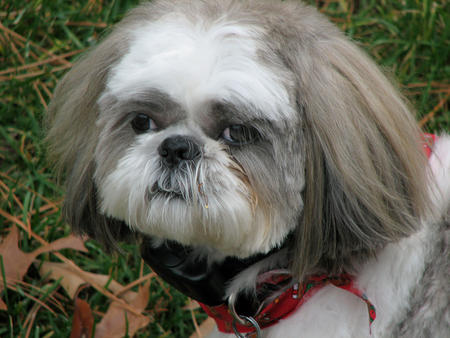 Gibby the Shih Tzu Pictures 333929