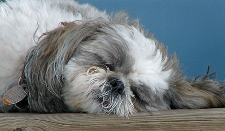 Gibby the Shih Tzu Pictures 333931