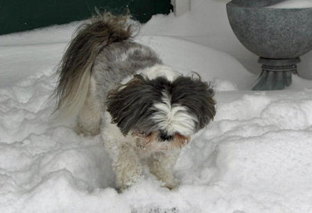 Gibby the Shih Tzu Pictures 333936