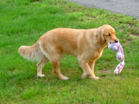 Max the Golden Retriever Pictures 21565