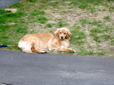 Max the Golden Retriever Pictures 21562