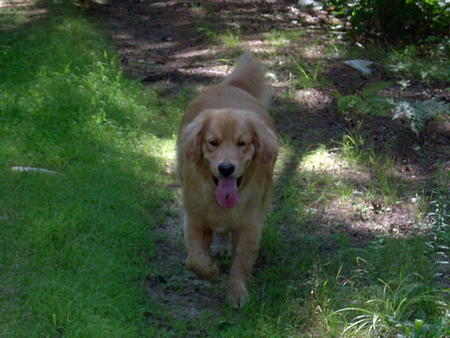 Max the Golden Retriever Pictures 21561