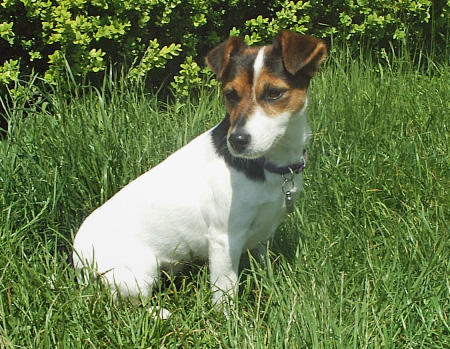 Tippi the Jack Russell Terrier Pictures 347605