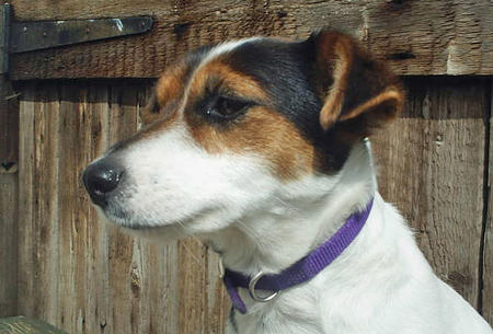 Tippi the Jack Russell Terrier Pictures 347608