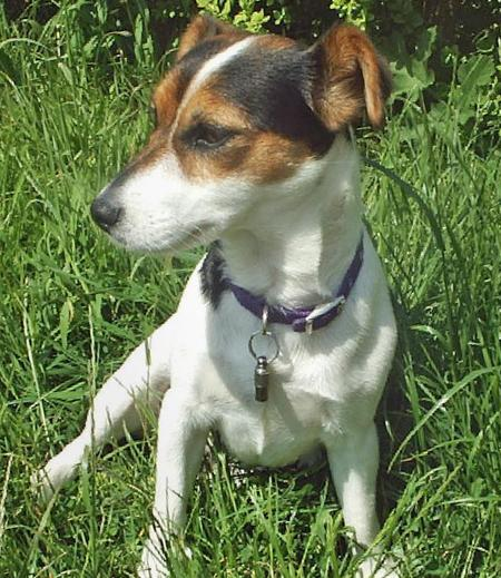 Tippi the Jack Russell Terrier Pictures 347607