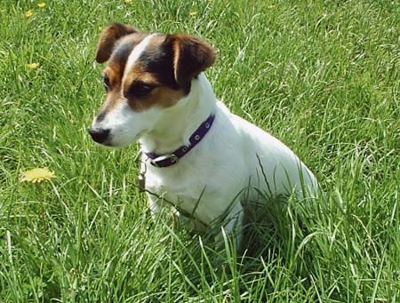 Tippi the Jack Russell Terrier Pictures 347604