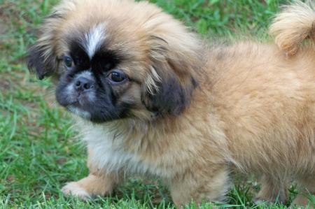 Benny the Pekingese Mix Pictures 335879