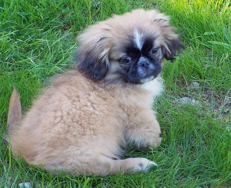 Benny the Pekingese Mix Pictures 335881