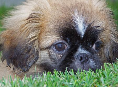 Benny the Pekingese Mix Pictures 335877