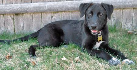 Tessie the Labrador Mix Pictures 38384