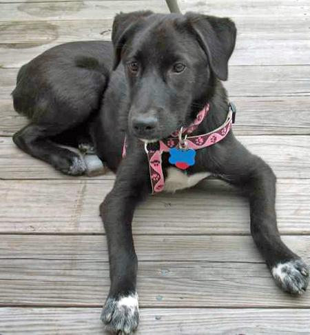 Tessie the Labrador Mix Pictures 38387