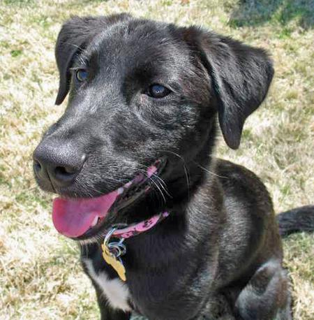 Tessie the Labrador Mix Pictures 38391