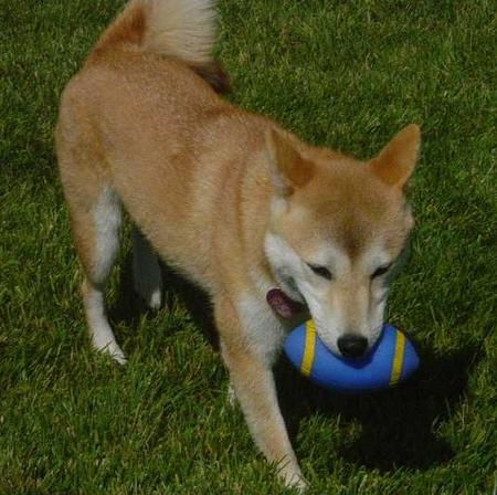 Lily the Shiba Inu Pictures 21869