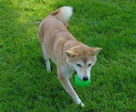 Lily the Shiba Inu Pictures 21867
