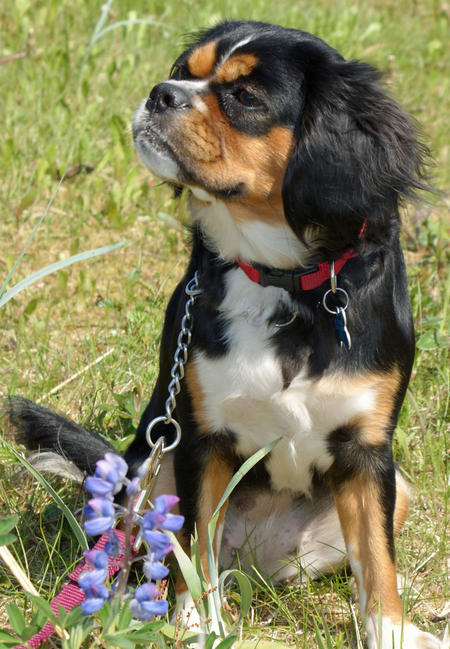 Duchess the King Charles Spaniel Mix Pictures 352330