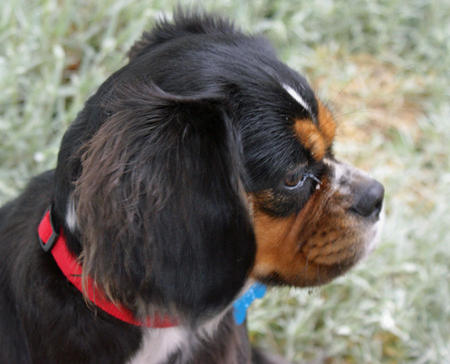 Duchess the King Charles Spaniel Mix Pictures 352326