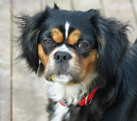 Duchess the King Charles Spaniel Mix Pictures 352327