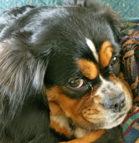 Duchess the King Charles Spaniel Mix Pictures 352328