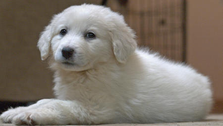 Angel the Great Pyrenees  Pictures 338368