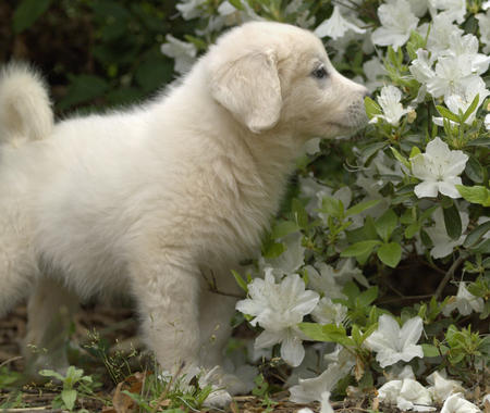 Angel the Great Pyrenees  Pictures 338373