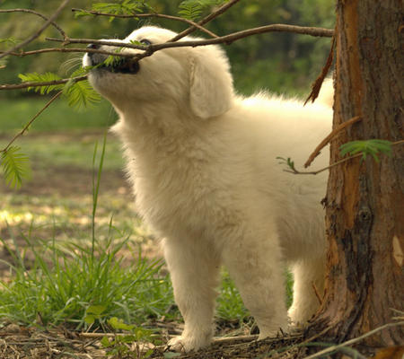 Angel the Great Pyrenees  Pictures 338371