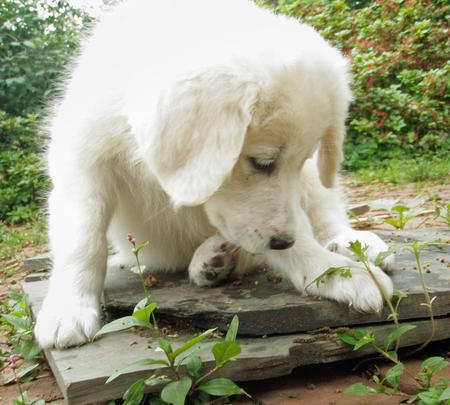Angel the Great Pyrenees  Pictures 338362
