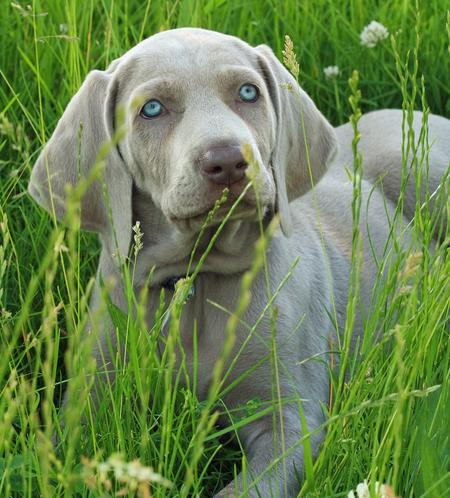 Shade the Weimaraner Pictures 355056