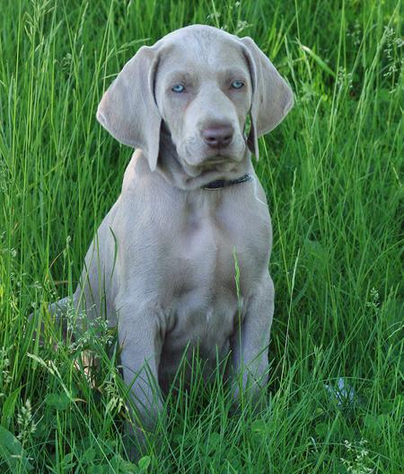 Shade the Weimaraner Pictures 355057