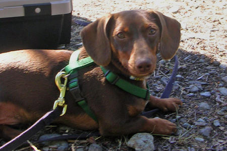 Topher the Dachshund Pictures 239014