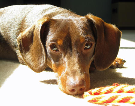 Topher the Dachshund Pictures 239016