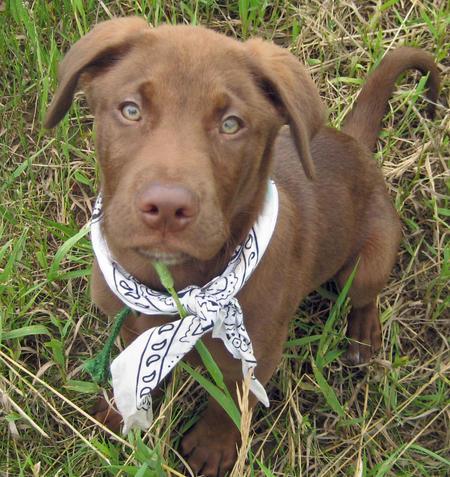 Moose the Labrador Retriever Pictures 375099
