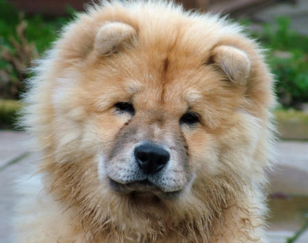 Gemma the Chow Chow Mix Pictures 343121
