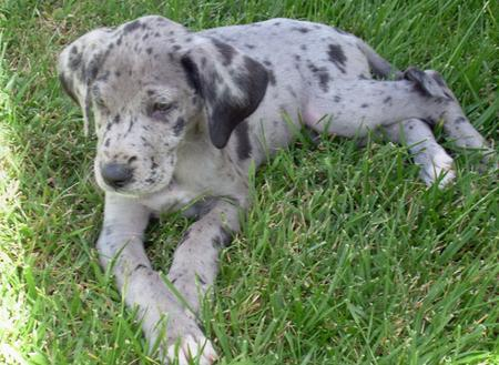 Olive the Great Dane Pictures 350142