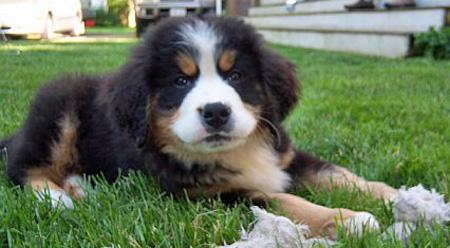 Ryder the Bernese Mountain Dog Pictures 345205