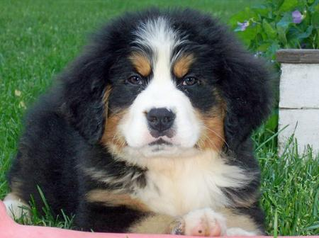 Ryder the Bernese Mountain Dog Pictures 345201